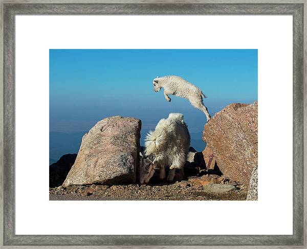 Leaping Baby Mountain Goat Framed Print