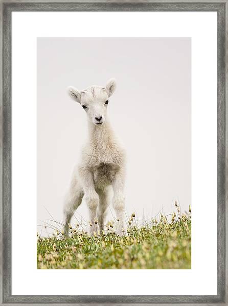 Frisky Lamb Framed Print by Tim Grams