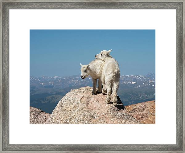 Frisky Mountain Goat Babies Framed Print