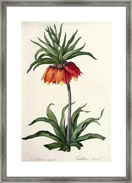 Fritillaria Imperialis Framed Print