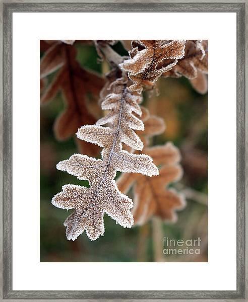 Frost Covered Oak Leaf Framed Print
