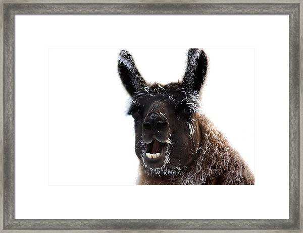 Framed Print featuring the photograph Frosted Llama by Bryan Smith