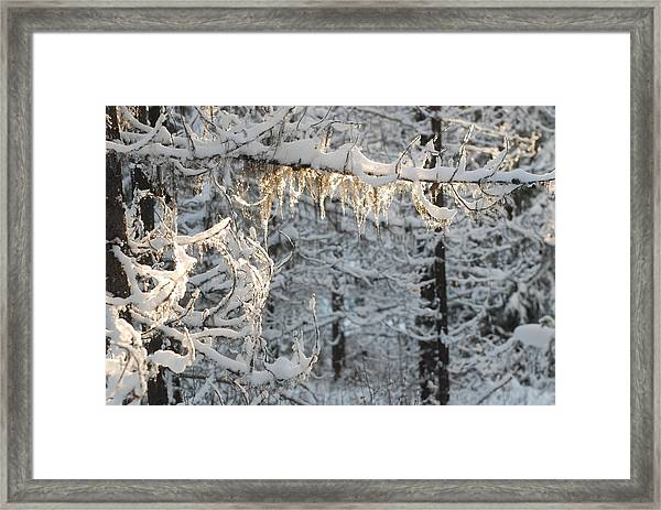 Frosted Pine Branches Framed Print