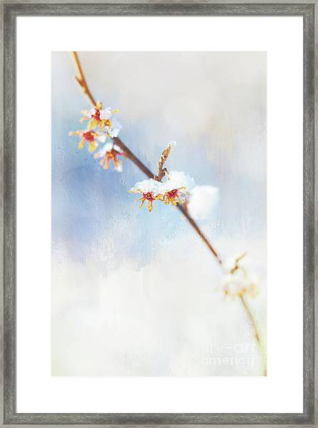 Frosted Witch Hazel Blossoms  Framed Print