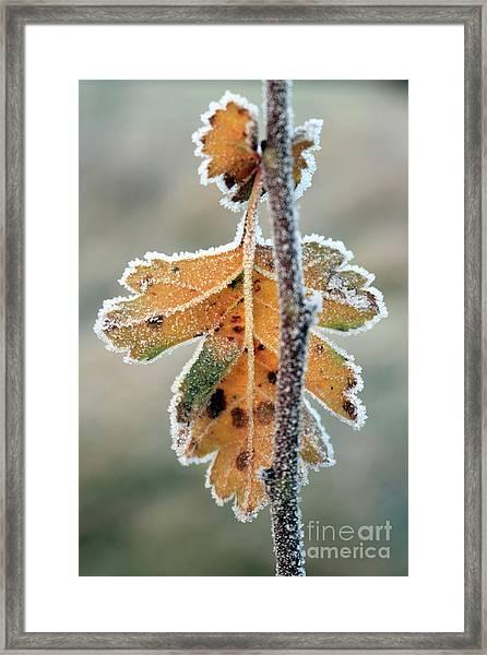 Frosty Leaf Framed Print