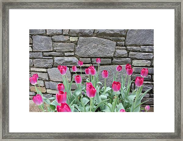 Fuchsia Color Tulips Framed Print