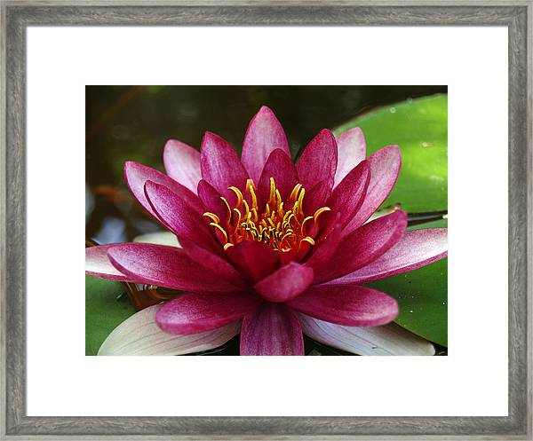 Full Lotus Framed Print