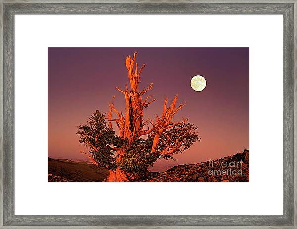 Full Moon Behind Ancient Bristlecone Pine White Mountains California Framed Print