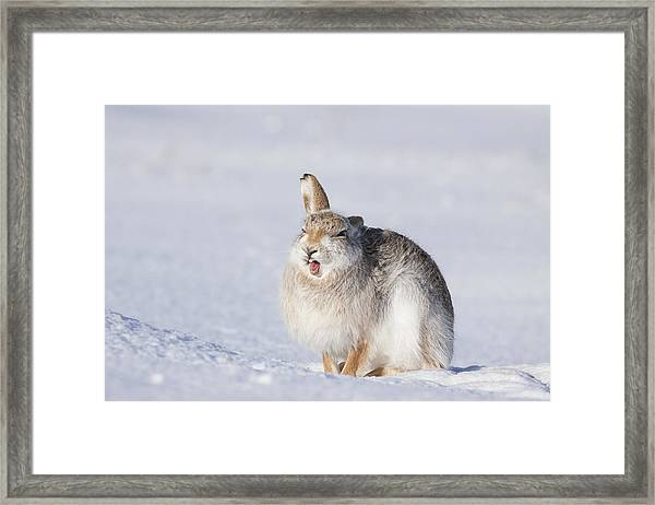 Funny Face - Mountain Hare - Scottish Highlands  #13 Framed Print