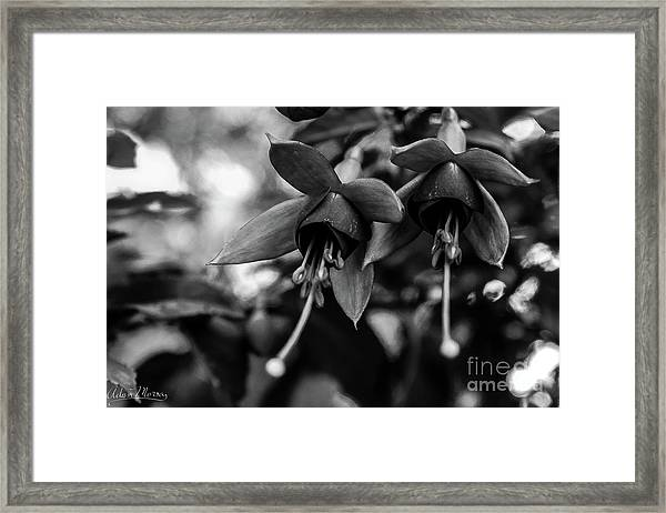 Fuchsia, Black And White Framed Print