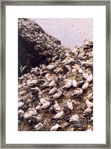 Gannet Cliffs Framed Print
