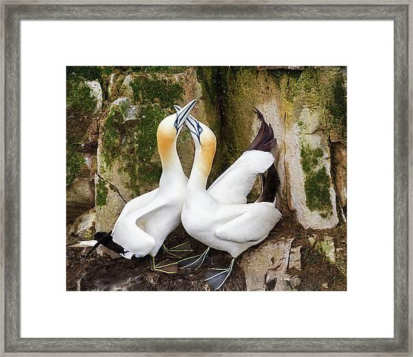 Gannet Passion Framed Print