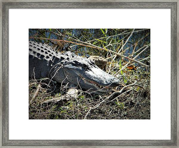 Gator Got Close Framed Print