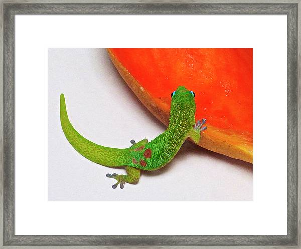 Gecko Eating Papaya Framed Print