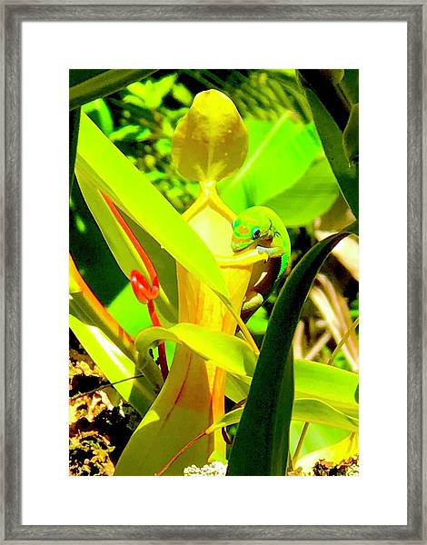 Gecko On Mosquito Catcher Orchid Framed Print
