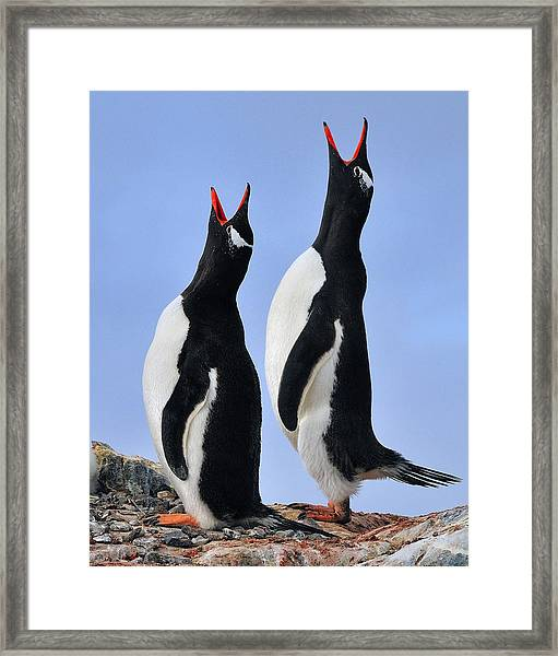 Gentoo Love Song Framed Print