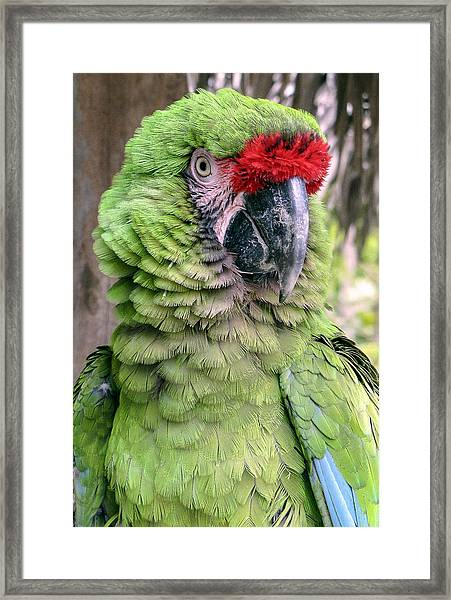 Framed Print featuring the photograph George The Parrot by Bob Slitzan