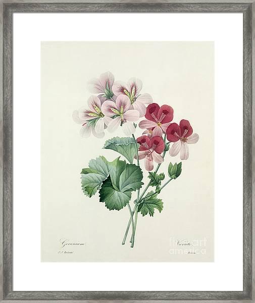 Geranium Variety Framed Print