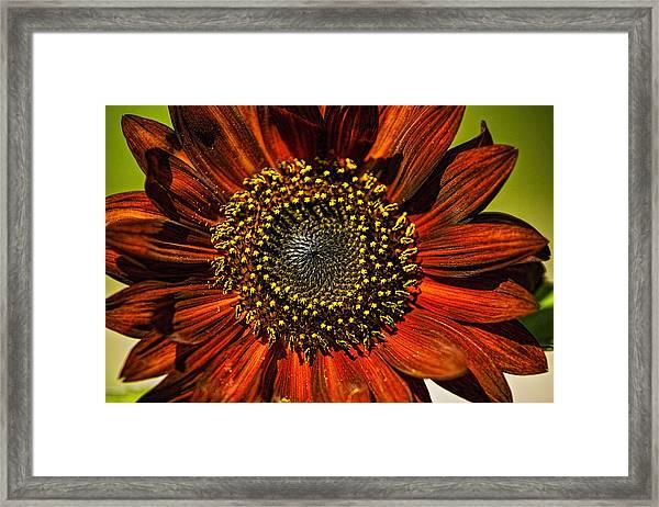 Gerber Daisy Full On Framed Print