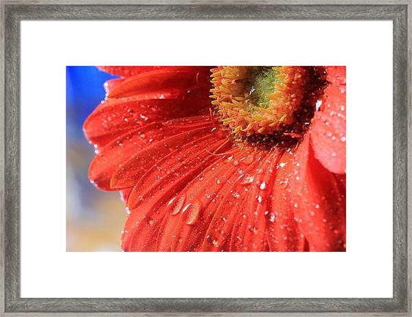 Gerbera Daisy After The Rain Framed Print