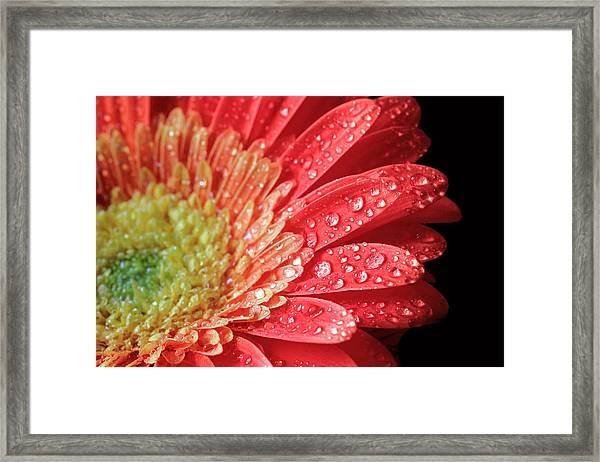 Gerbera Daisy Macro Framed Print
