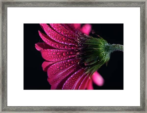 Gerbera Daisy Framed Print
