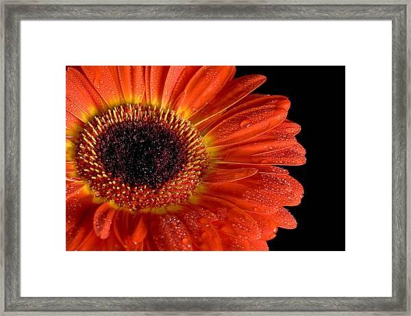 Gerbera I Framed Print