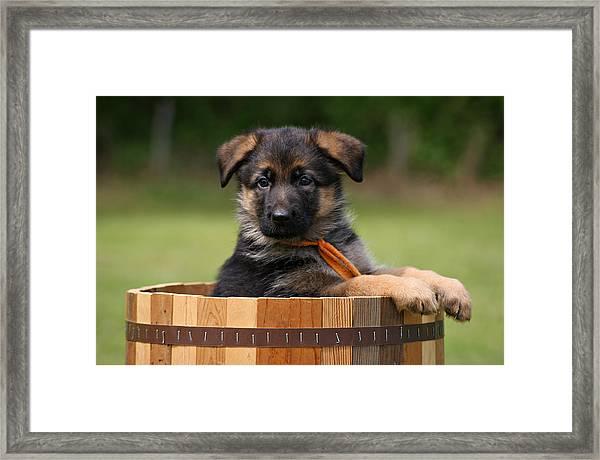 German Shepherd Puppy In Planter Framed Print