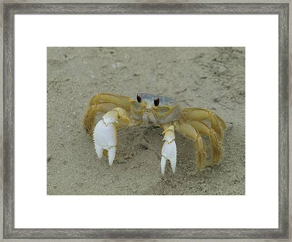 Ghost Crab - 1 Framed Print