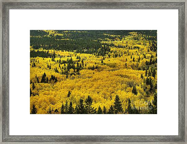 Giant Aspen Glen 2 Framed Print