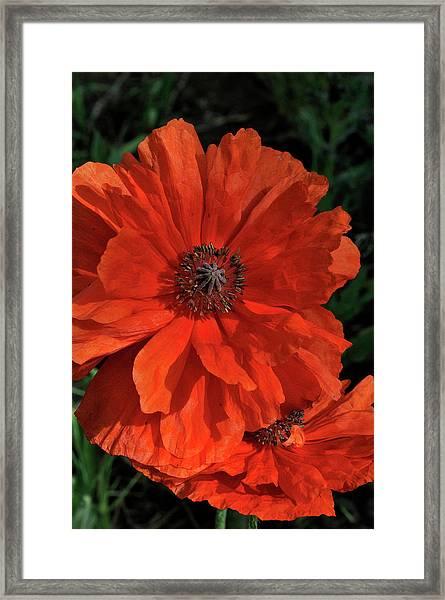 Giant Mountain Poppy Framed Print