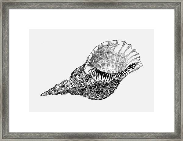Giant Triton Shell Framed Print