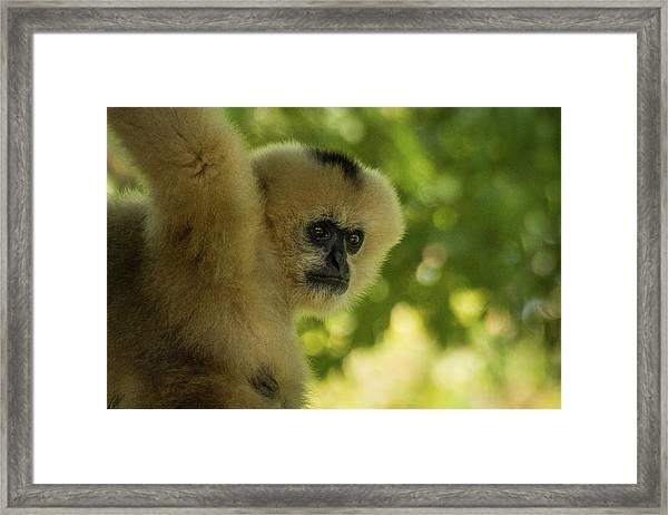 Gibbon Portrait Framed Print