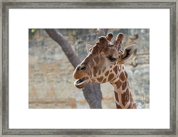 Girafe Head About To Grab Food Framed Print