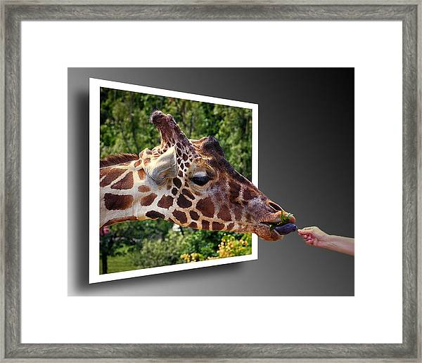 Giraffe Feeding Out Of Frame Framed Print
