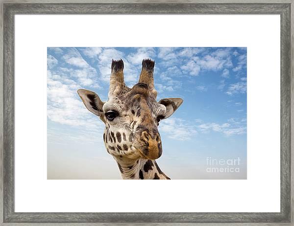 Giraffe In The Masai Mara Framed Print