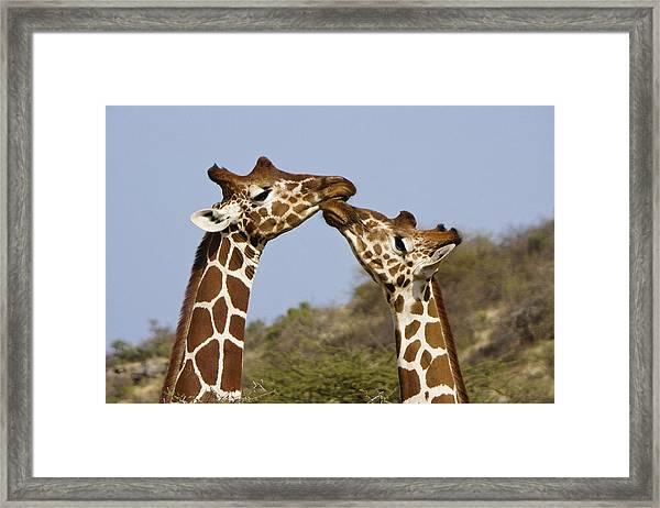 Giraffe Kisses Framed Print