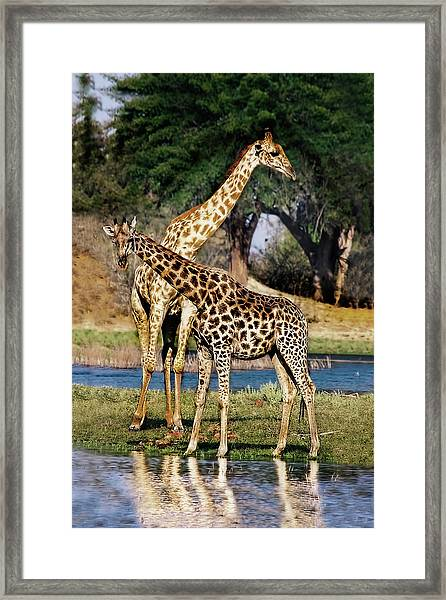 Giraffe Mother And Calf Framed Print