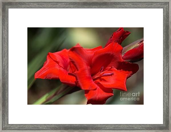 Gladioli Manhattan Variety  Framed Print