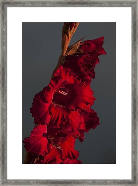 Gladiolus Against A Dark Cloud Framed Print