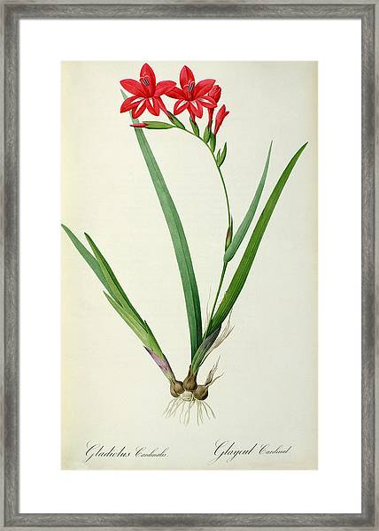 Gladiolus Cardinalis Framed Print