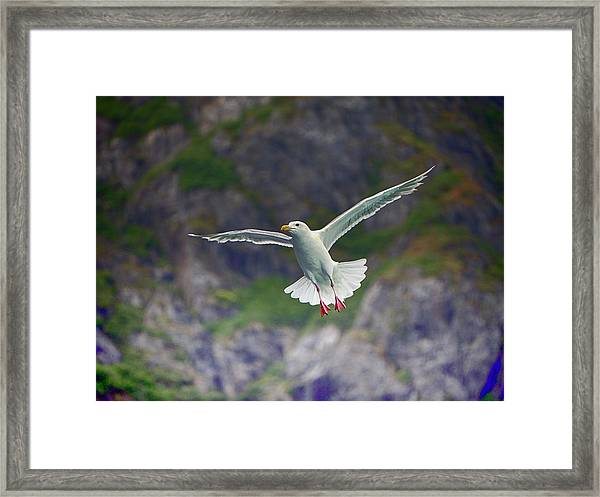 Glaucous-winged Gull Framed Print