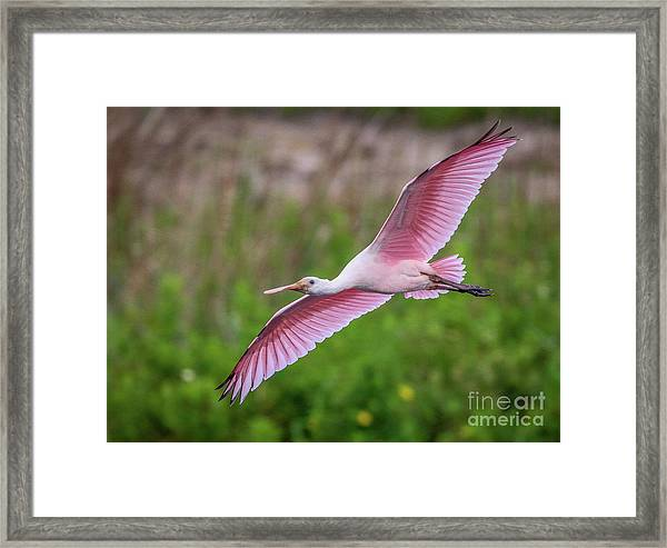 Framed Print featuring the photograph Gliding Spoonbill by Tom Claud