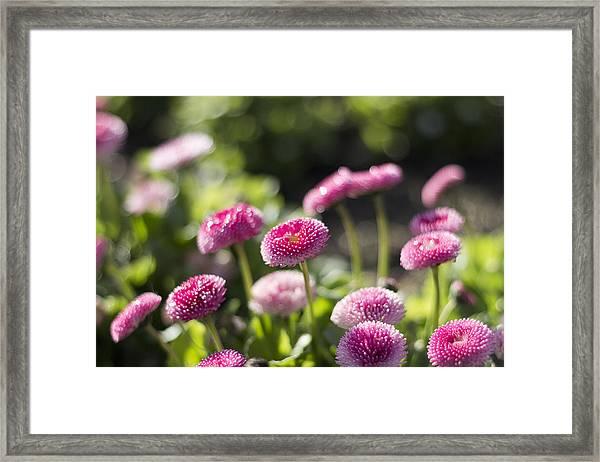 Glittering Daisies Framed Print