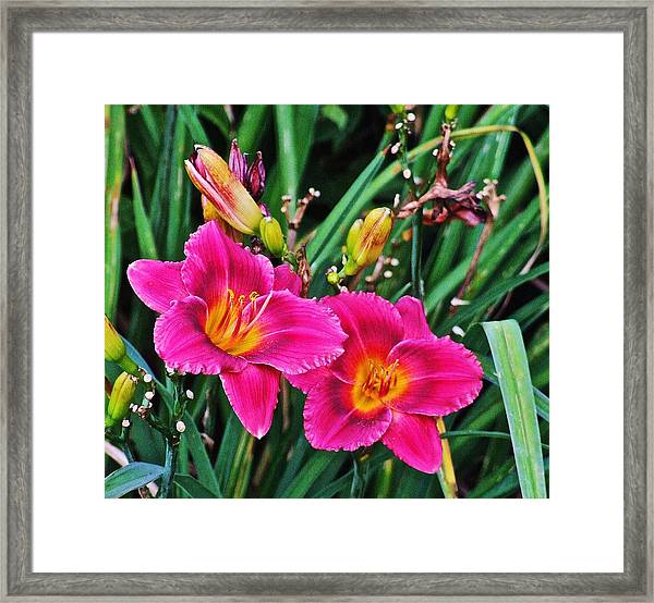 Glorious Daylilies Framed Print