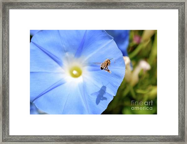 Glory Bee Framed Print
