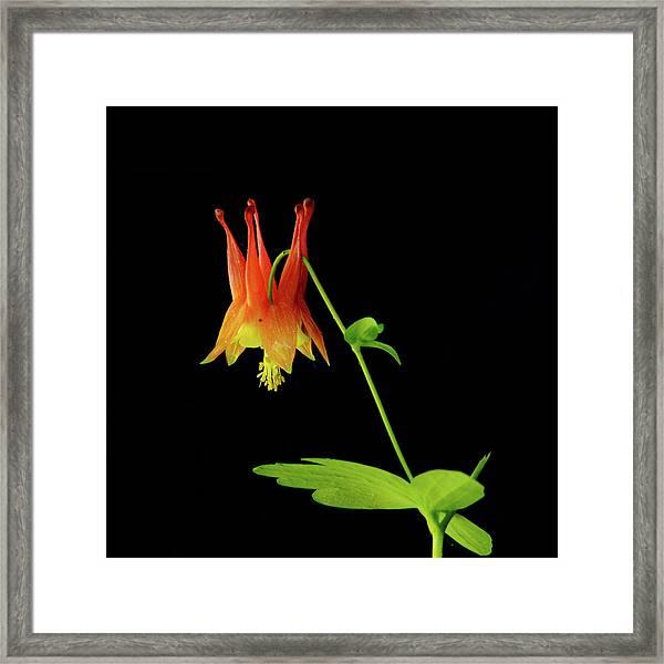 Glowing Colombine Framed Print