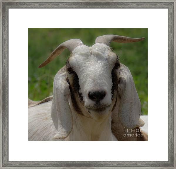 Goat 1 Framed Print