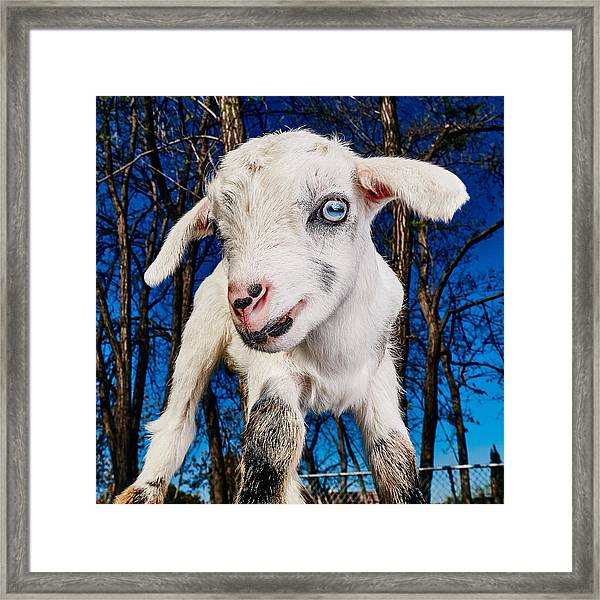Goat High Fashion Runway Framed Print