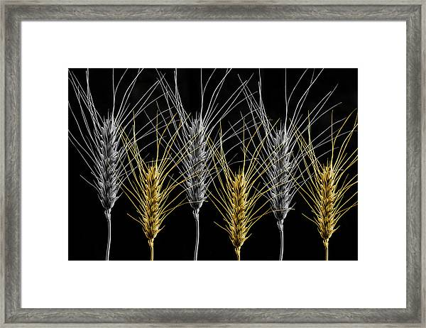 Gold And Silver Wheat Framed Print